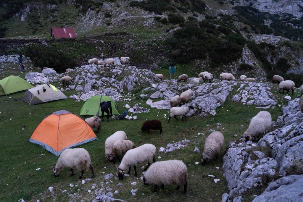 Sheep are roaming through the campsite