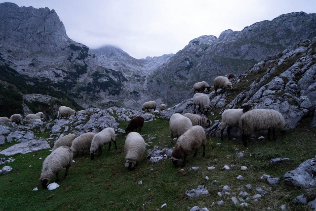 Sheep at dusk in montenegro