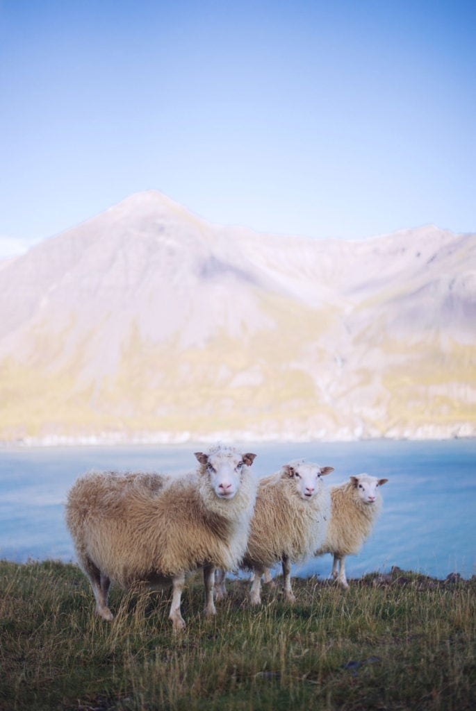 Three sheep standing in the grass with a mountain in the back